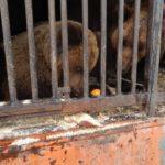 Покровские хищники теперь будут жить в Киеве