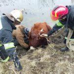 На Донеччині рятувальники не дали втопитися корові в Бичку (ФОТО)