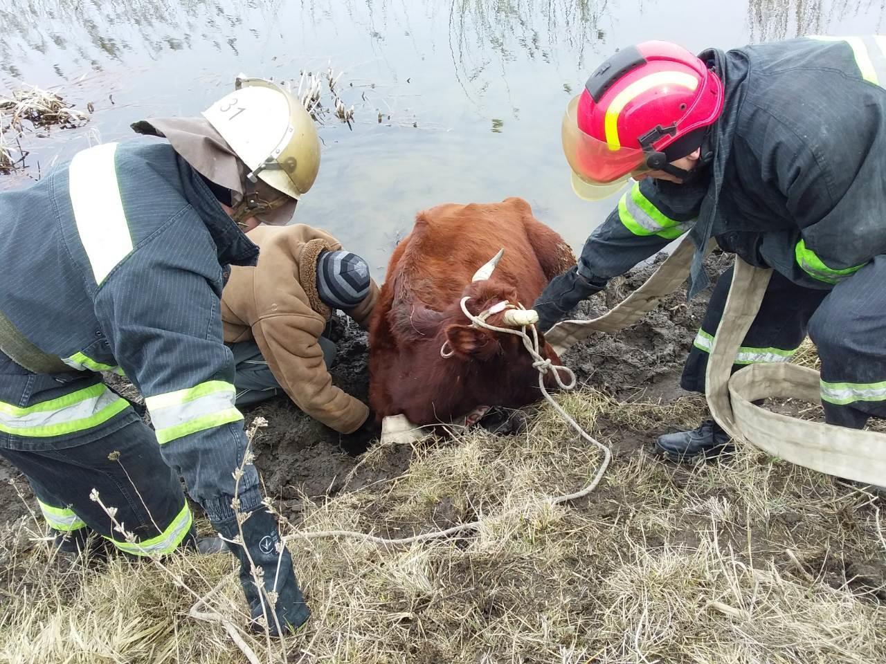 В Краматорську корова коричневого кольору вирішила втопитися в річці