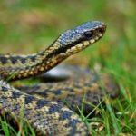 Що робити при укусі змії і як вберегтися від нього