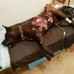 Військова лікарка 5 годин оперувала пораненого фронтового собаку. І врятувала (Фото)
