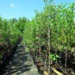 Через карантин акцію з висадки 1000 дерев в Бахмутській ОТГ перенесли