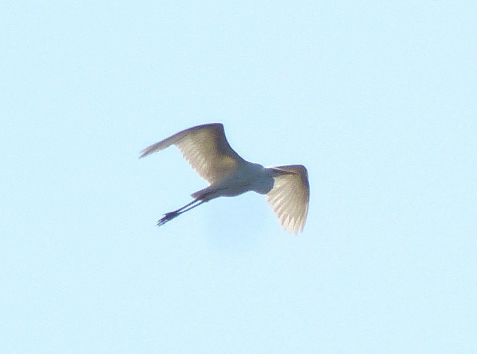 Чапля сіра птах летить