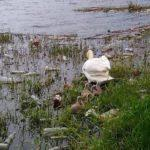 В Бахмуті активісти вибрали 2 причепи сміття біля гніздівлі лебедів (фото)