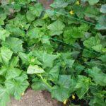 Свежий урожай с собственной грядки: Как выращивать огурцы на огороде и дома