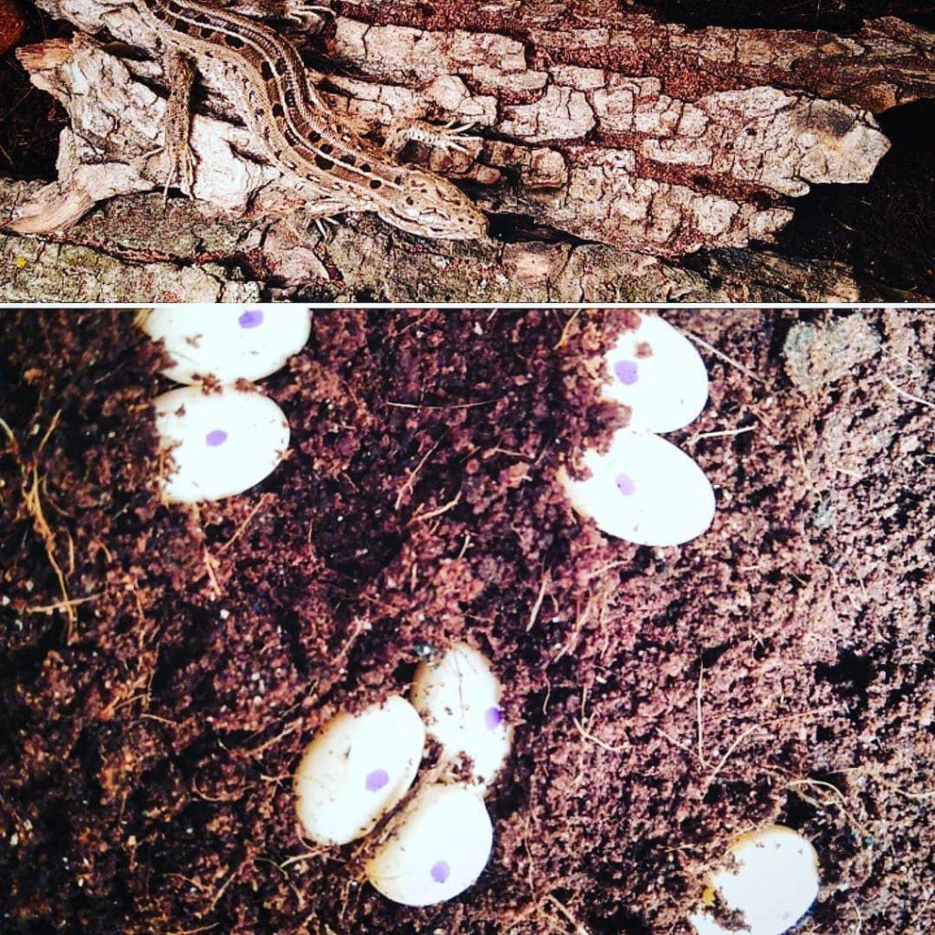 яйця ящірки