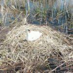 З Клебан-Бику відлетіли більшість лебедів. А птахи, які лишилися, вивели пташенят (відео)
