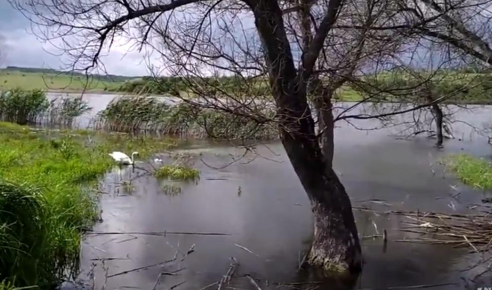 чистий ставок лебеді