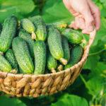Свіжий врожай з власної грядки: Як вирощувати огірки на городі та вдома