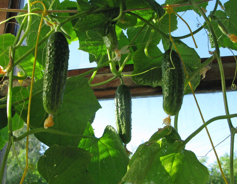 Як виростити огірки на балконі