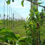 З посадовців у садівники. В Сіверську заклали яблуневий сад і планують на ньому заробляти