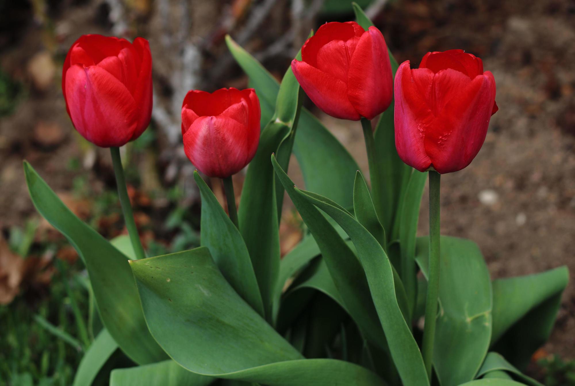 тюльпан Геснера садовий
