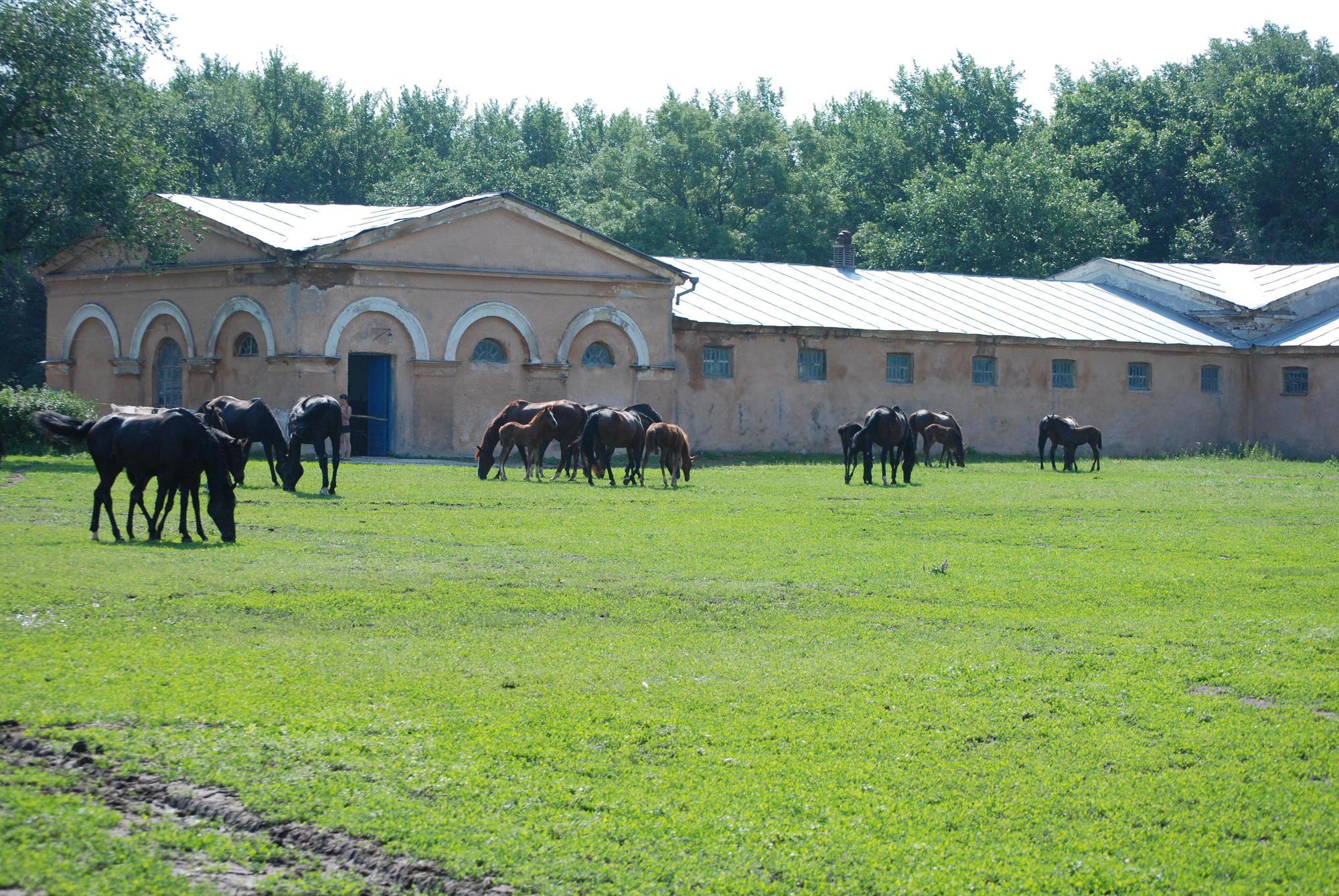 коні Деркульського кінного заводу на пасовищі