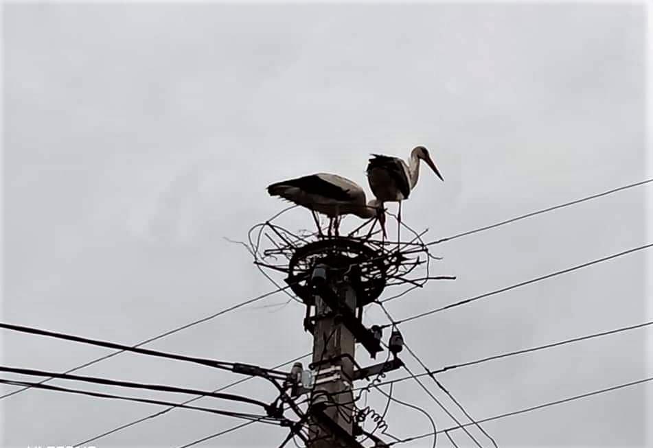на Донетчине аисты свили гнездо на электроопоре