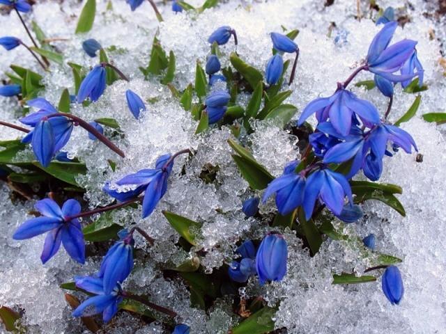 проліска під снігом