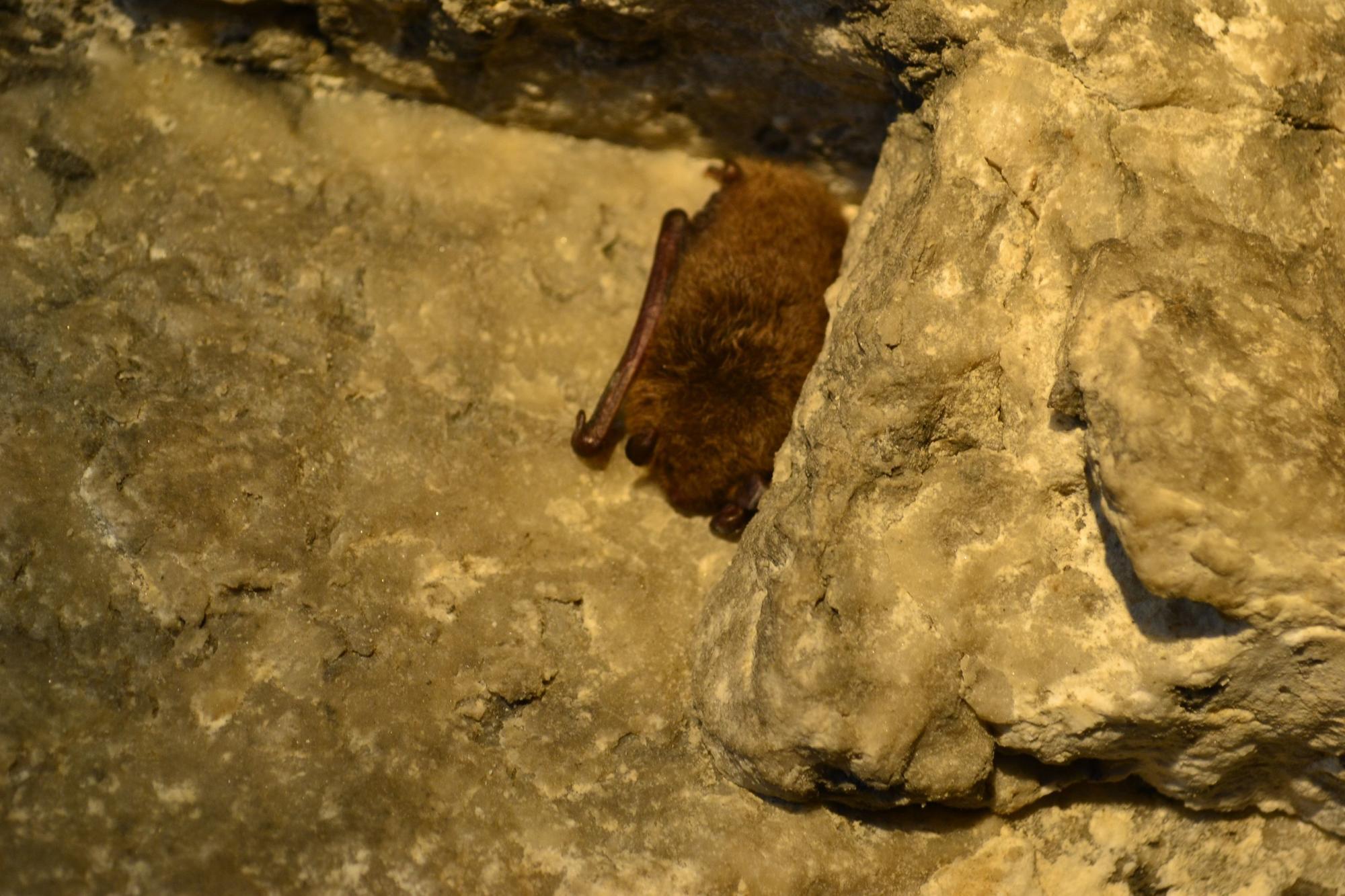 нічниця водяна кажан на Іванграді