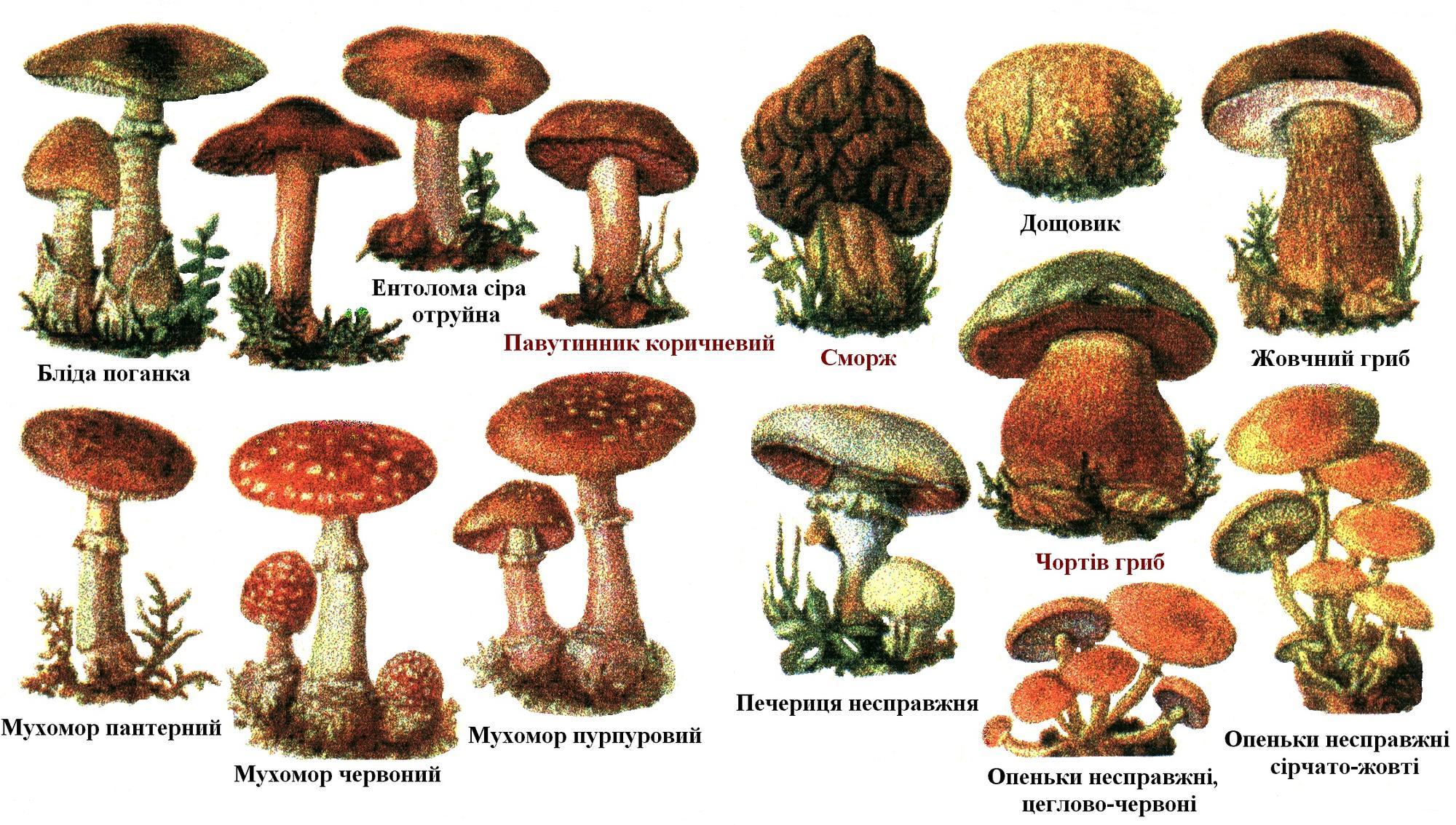Сезон грибів: як не принести з лісу кошик отрути та що робити, якщо ви з'їли не той гриб