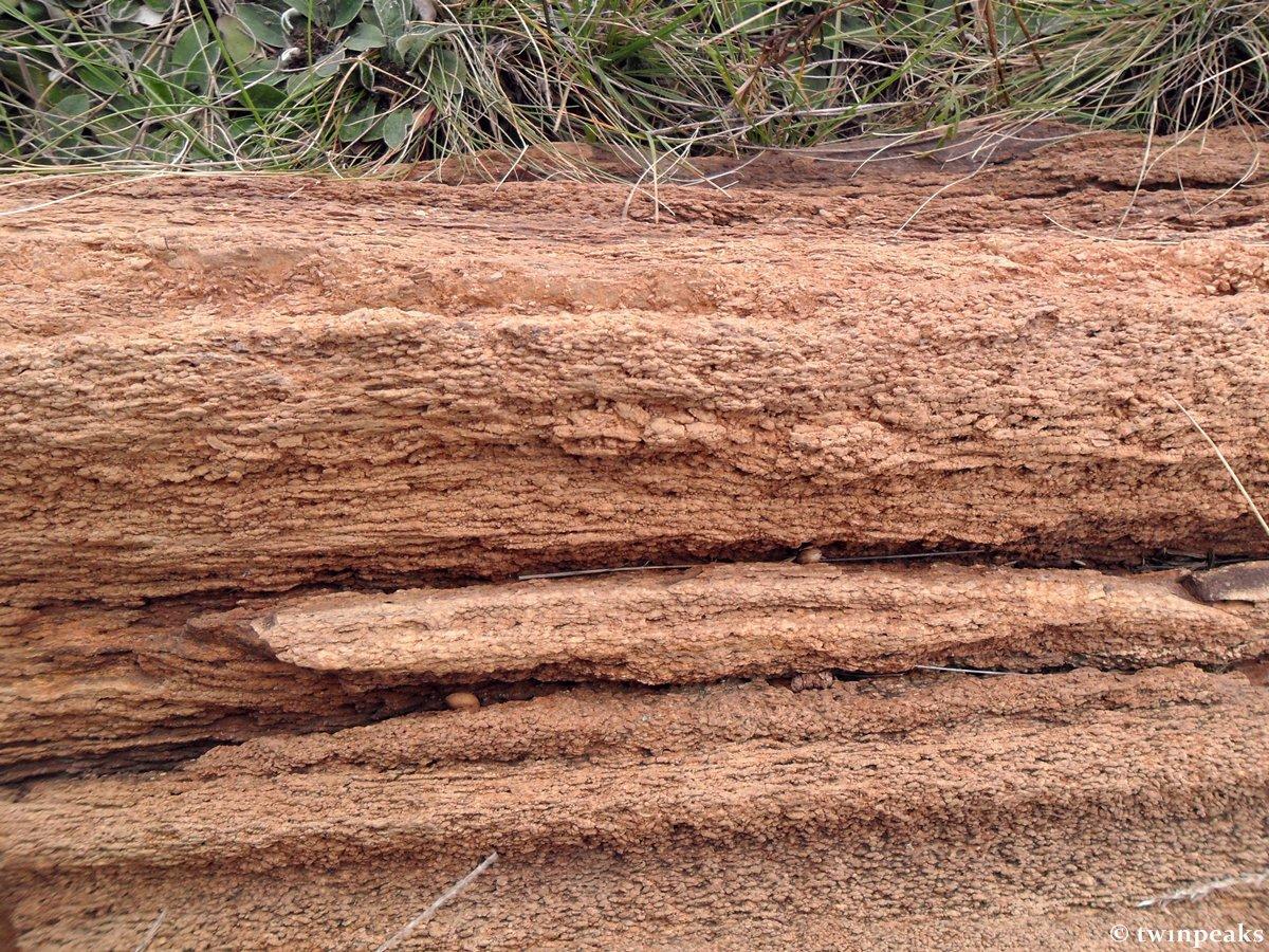 скам'яніле дерево у Дружківці